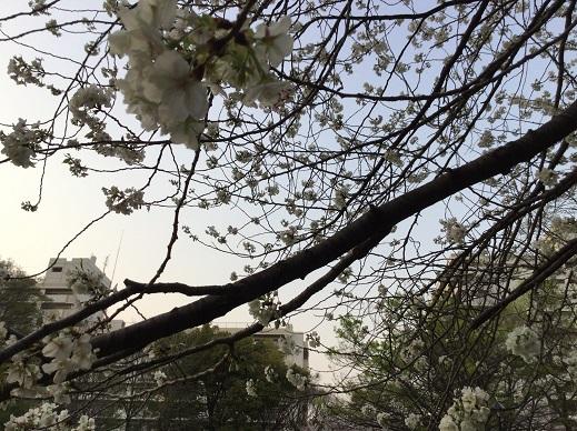 戸山公園のサクラ