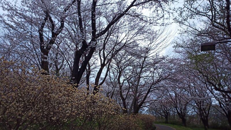 近所の公園も桜が咲いてました