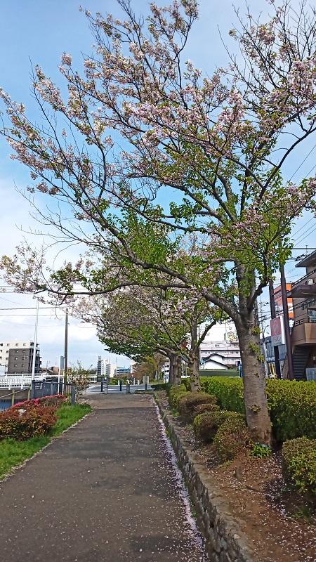 桜の季節も終わりですね